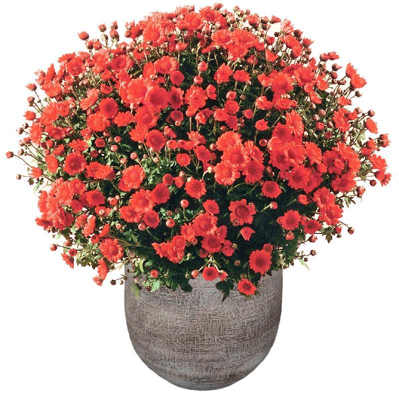 Bouquet de fleurs Chrysanthemum plant (rust-red) in a cachepot
