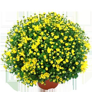Bouquet de fleurs Chrysanthème unicolore petites fleurs Deuil