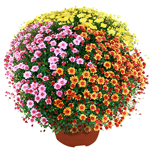Bouquet de fleurs Chrysanthème multicolore petites fleurs Deuil