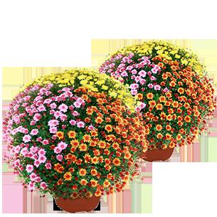 Bouquet de fleurs Duo de chrysanthèmes multicolores petites fleurs Deuil