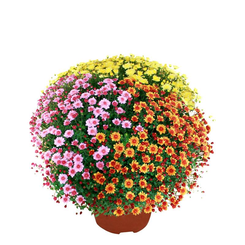 Chrysanthème multicolore petites fleurs | Toussaint ...