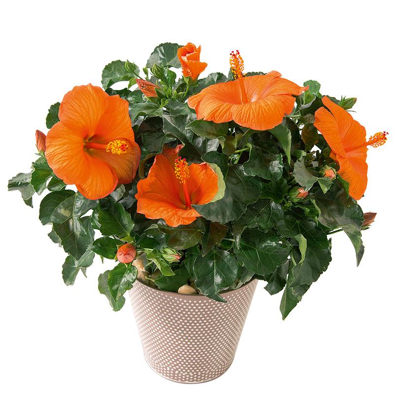 Hibiscus interflora for Fleuriste livreur