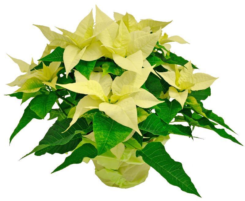 Bouquet de fleurs Poinsettia