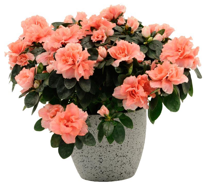Bouquet de fleurs Azalea