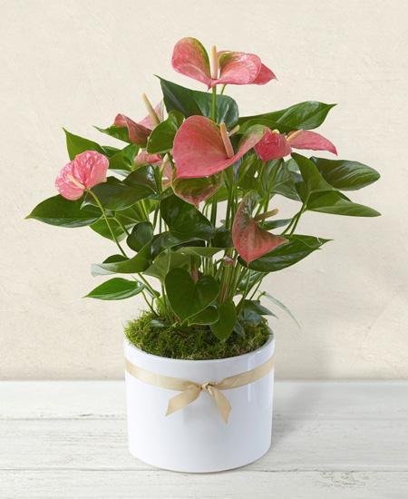 Bouquet de fleurs Anthurium rosa