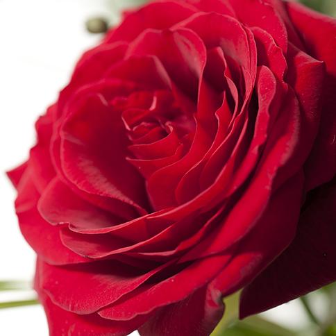 bouquet de 20 roses rouge rose et orange bouquet classique interflora. Black Bedroom Furniture Sets. Home Design Ideas