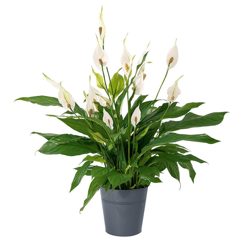 spathiphyllum plante graphique blanche interflora. Black Bedroom Furniture Sets. Home Design Ideas