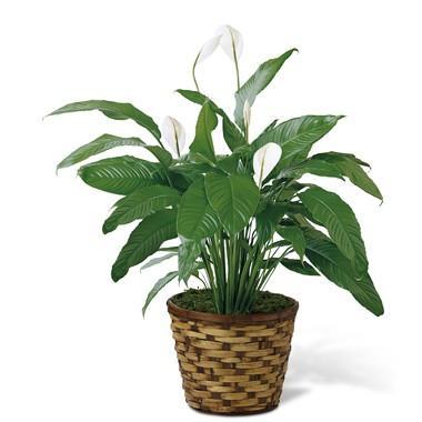 Bouquet de fleurs Spathiphyllum