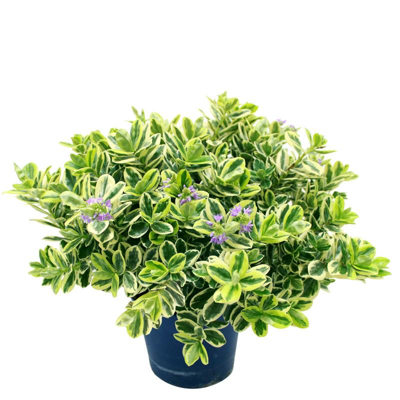 v ronique panach e livraison de fleurs et plantes pour la toussaint avec interflora interflora. Black Bedroom Furniture Sets. Home Design Ideas