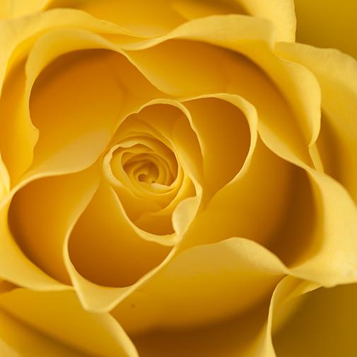 Bouquet de roses Brassée de 40 roses