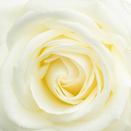 Fleurs et cadeaux Rose blanche, son champagne Devaux