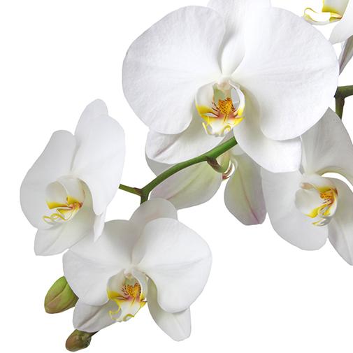 Bouquet de fleurs Orchidée gourmande