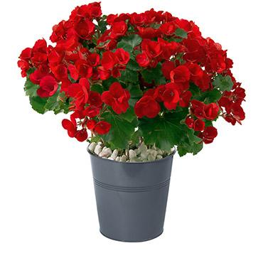 Plantes vertes et fleuries Bégonia