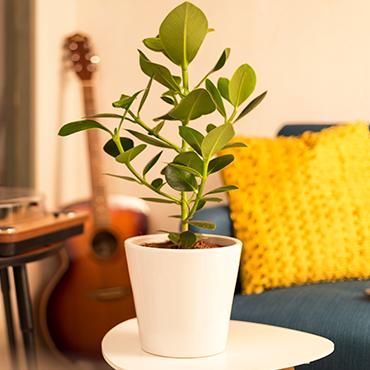 Plantes vertes et fleuries Clusia