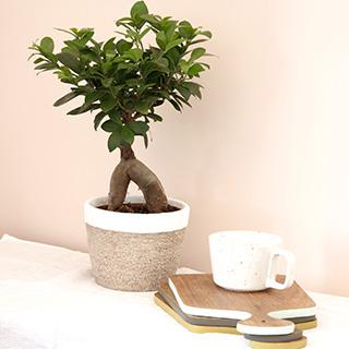 Ficus Ginseng + cache pot