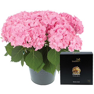 Hortensia et ses chocolats Collection Florale