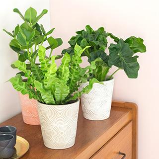 Trio de plantes vertes + cache pot