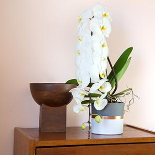Phalaenopsis Formidablo
