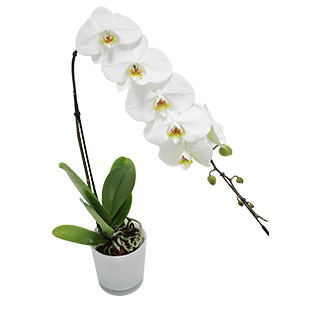 Orchidée Bangalore blanche