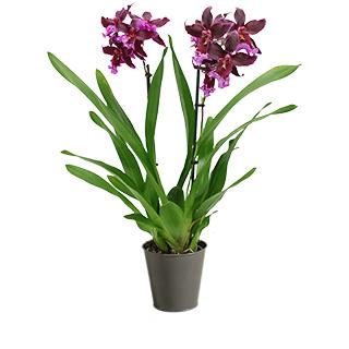 Orchidée Goa bordeaux/violet