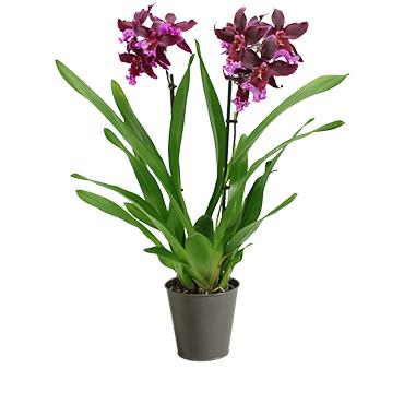 Plantes vertes et fleuries Orchidée Goa