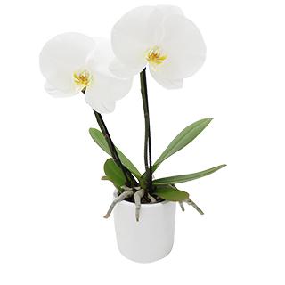 Orchidée Hanoï blanche