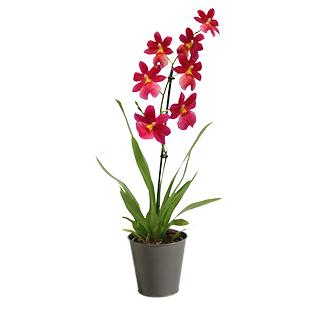 Orchidée Jaipur rouge