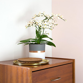 Phalaenopsis multifleurs + cache pot