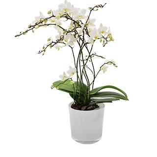 Orchidée Java blanche
