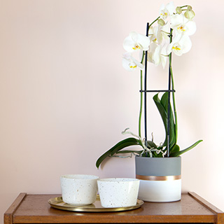 Phalaenopsis Nevada + cache pot