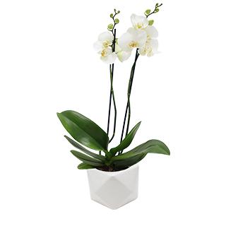 Orchidée Katmandou blanche