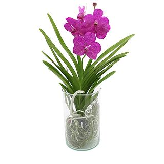 Orchidée Lhassa violette