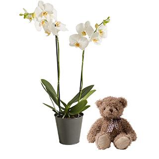 Orchidée câline